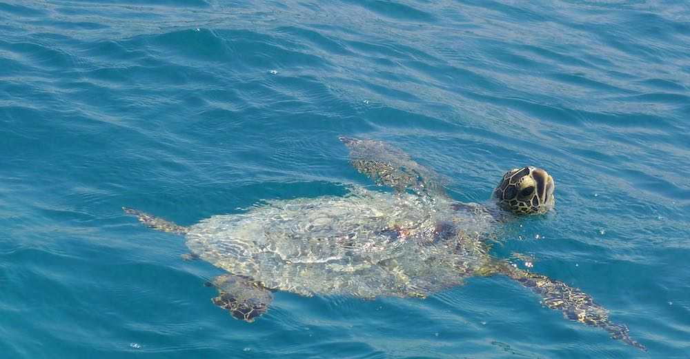 Swimming with turtles is one of our favorite Maui activities for families