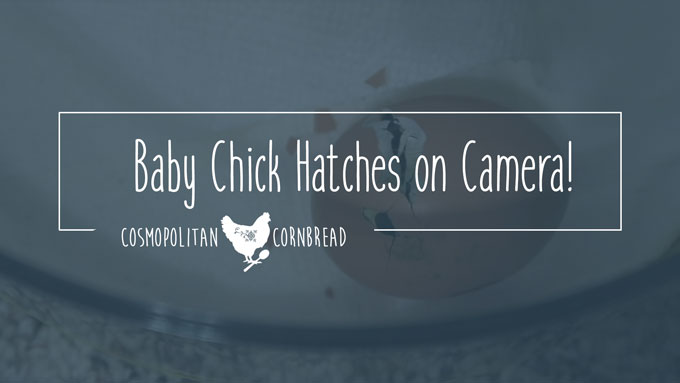 I was able catch one of my chicks hatching on camera. Check it out! | Cosmopolitan Cornbread