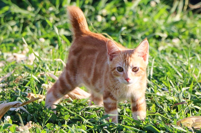 A Vegetarian Farm Cat? | Happenings around the homestead. Escaped chickens and crazy felines.