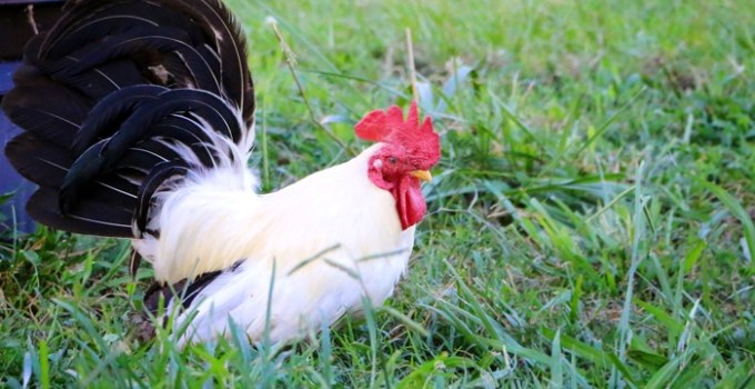 How To Tell if You Have a Rooster