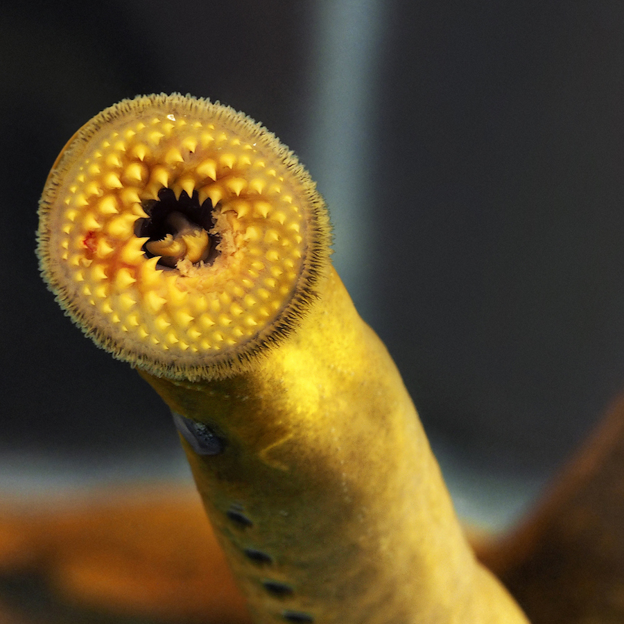 Lampreys suck at swimming but it helps them move faster ...