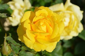 yellow-rose-196393__180