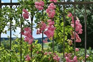 rose-2456080_1280