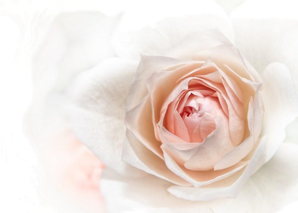 rose-1486808_1280