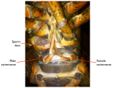 hermaphroditicLobsterVentral