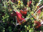 """In this nutrient-poor bog, these carnivorous pitcher plants subsist by trapping insects in their """"pitcher"""" filled with sweet nectar"""