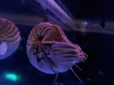 A real live nautilus! In the aquarium at California Academy of Sciences