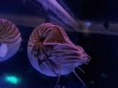 A real live nautilus! In the aquarium at California Academy of Sciences