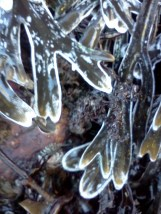 Thin layer of ice coating Fucus