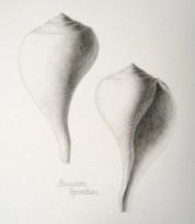 The whelk Busycon spiratum - graphite