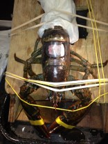 A clear, penetrable membrane seals the body cavity of the lobster, but still allows blood to be taken as needed.