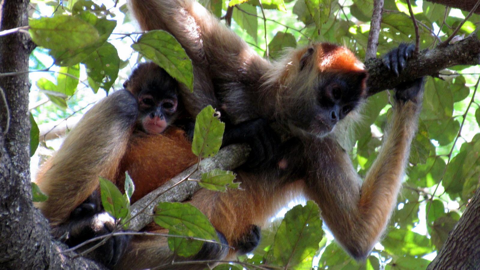 geoffroy s spider monkeys