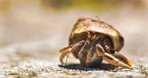 Sea  Hermit Crab