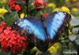 Costa Rica Animals Blue Morpho Butterfly