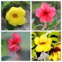 Hibiscus & Allamanda Flowers
