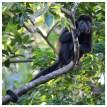 Howler Monkey 7
