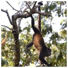 Howler Monkey 13
