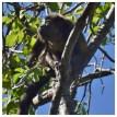 Howler Monkey 14