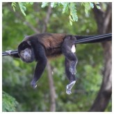Howler Monkey 16