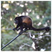 Howler Monkey 17