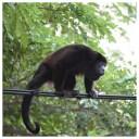 Howler Monkey 18