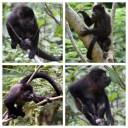 Howler Monkeys 3