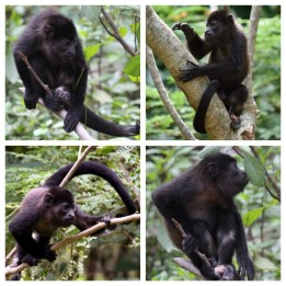 Howler Monkeys 3