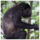 Howler Monkey 1