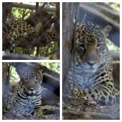 Jaguar 2 Los Pumas Rescue Centre