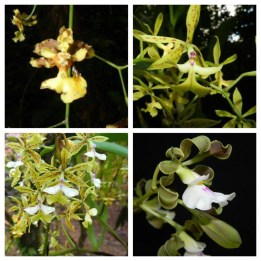 Orchids 1 Monte Alto
