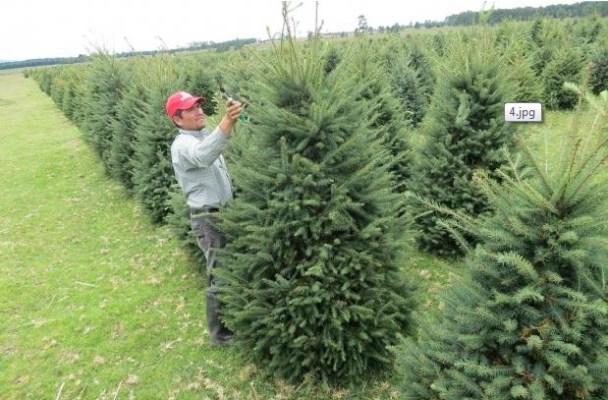 Más del 70% de árboles de navidad en Veracruz se producen en Perote, Las Vigas, Altotonga, Villa Aldama, Orizaba y Jalacingo.