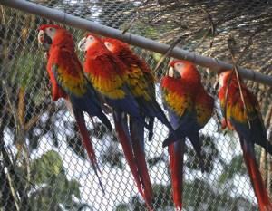 En el Rancho La Otra Opción, dentro la Reserva de la Biosfera de Los Tuxtlas, son adiestrados los ejemplares antes de su liberación.