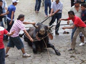 toros de tlacotalpan