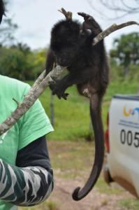 Cuando fue localizado el mono, éste se encontraba en condiciones deplorables debido a que había sido mordisqueado por los perros de rancho.