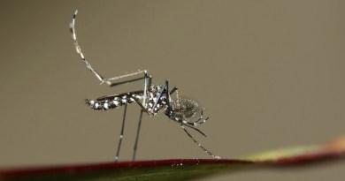 Mosquito tigre Francia