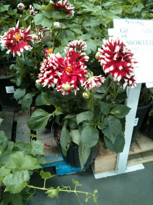 Beautiful dahlia plant at Costco