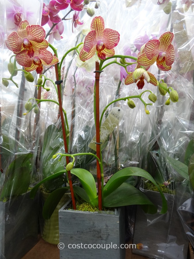 Phalaenopsis Double Spike Orchid