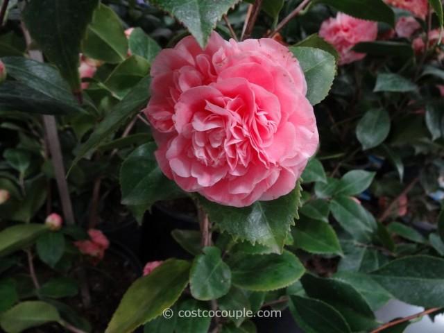 Camellia Debutante