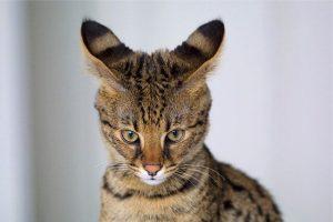 An image of a savannah cat