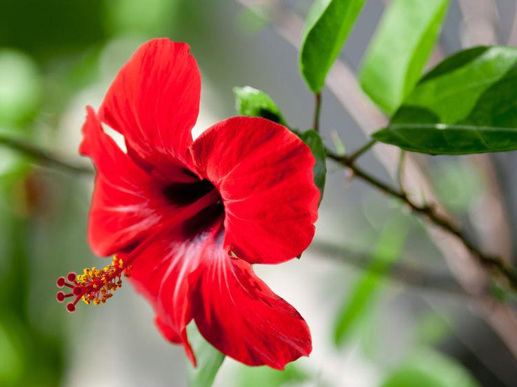 hibiscus, costa rica, medicinal plants costa rica