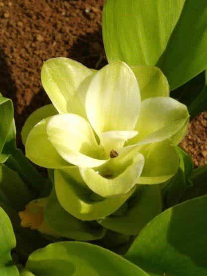 Fleur de curcuma