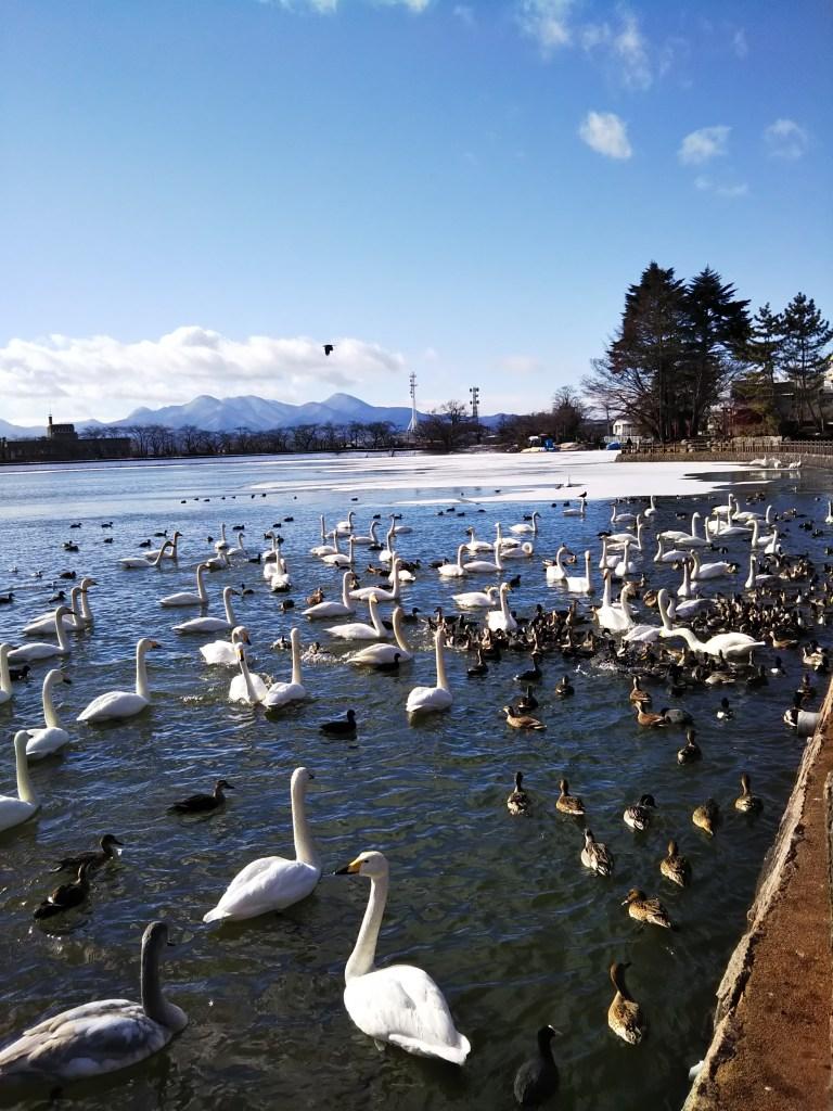 盛岡高松の池白鳥の餌やり