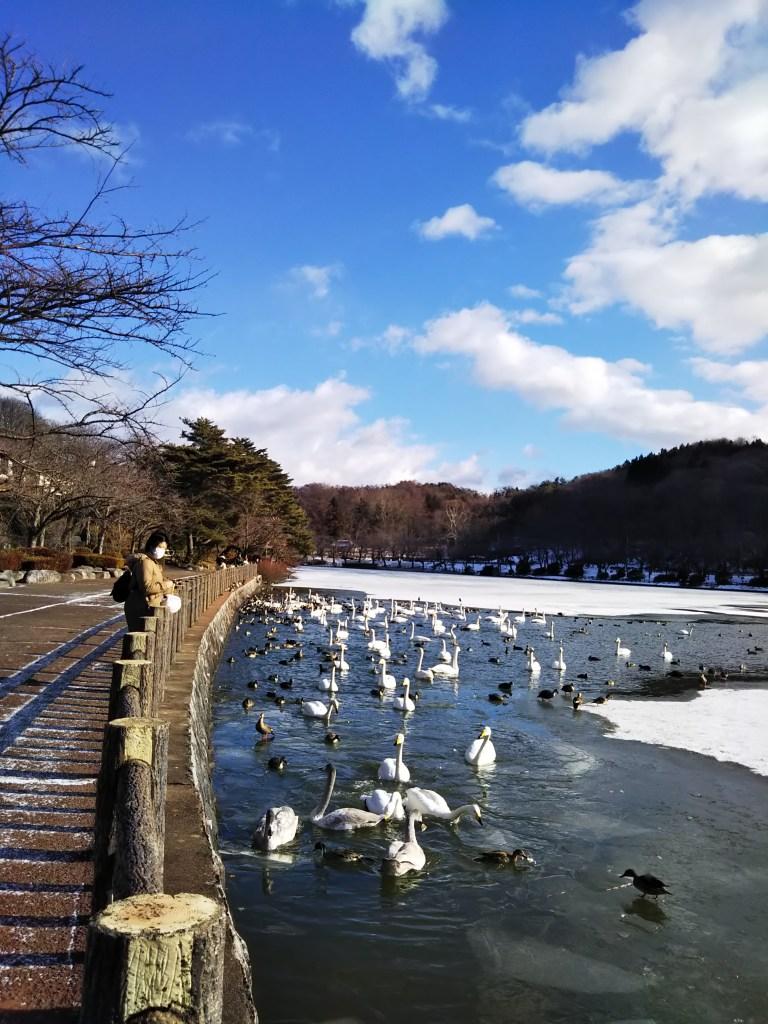 盛岡高松の池白鳥