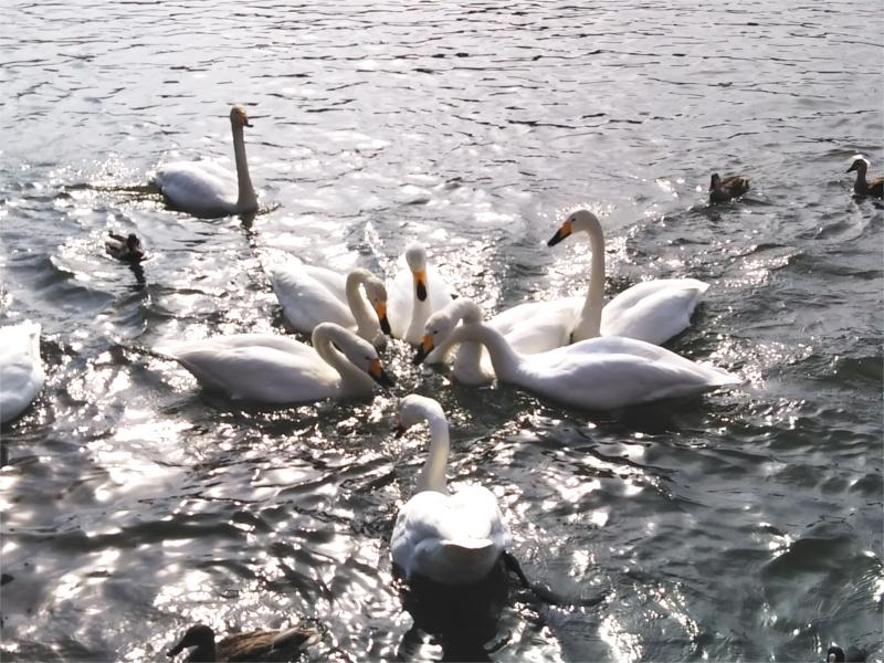 高松の池白鳥餌付け