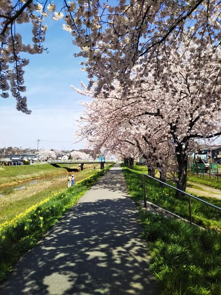 草生津川の桜2019