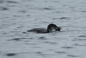 Great Northern Diver (Jon Mercer)