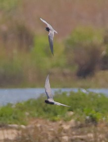 Black tern (Mike Trew)