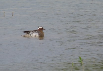 Garganey (Ken Cypher)