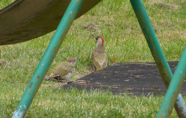 Green Woodpecker (John Grearson)