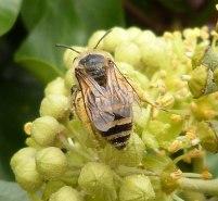 Ivy Bee (John Grearson)